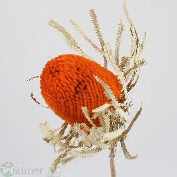 Banksia Hookerana, 25/Krt