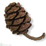 Mammutbaumzapfen, ca700g Inhalt ca 50-55Stk