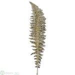 Farn L60 cm