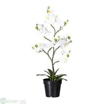 Phalaenopsis ca. 75 cm, x7
