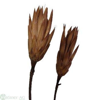 Protea Repens, 50/Krt