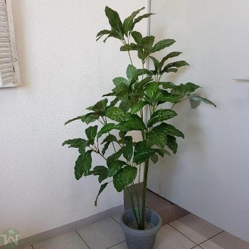 Schefflera 170 cm