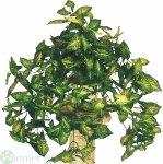 Syngoniumbusch 45 cm