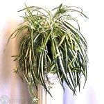 Chlorophytum 40 cm