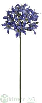 Agapanthus D11/L69 cm
