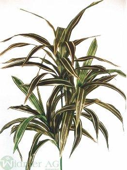 Dracenapflanze x3 100 cm