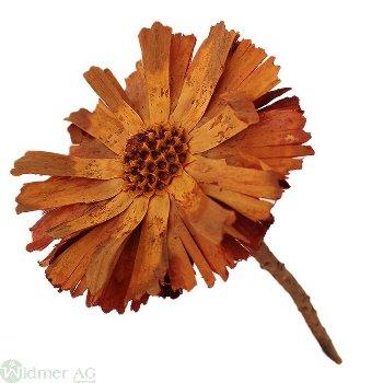 Protea Repens roset. mt. 50/K.