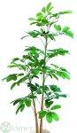 Schefflera x 2 130 cm