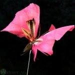 Schmetterling 8,5 cm