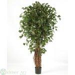 Ficus Liana 240 cm mit einfachem KS-Topf