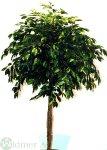 Ficuskugelbaum D110/H210 cm