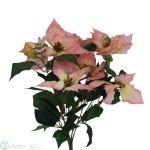 Poinsettia-Busch x 7/7 Bl