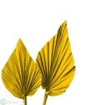 Palmspeer gross, 50/Krt.