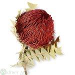 Banksia Baxterii, 25/Krt