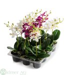 Orchidee mini 23 cm mit Blättern, im Topf D6cm